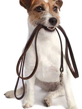 jack russell terrier earthdog tunel artificail
