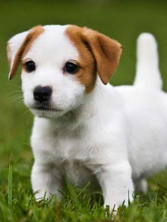 historia del jack russell terrier