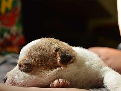 criadero de jack russell terrier y dachshund miniatura pelo duro