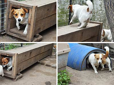 criadero tunel artificial earthdog jack russell